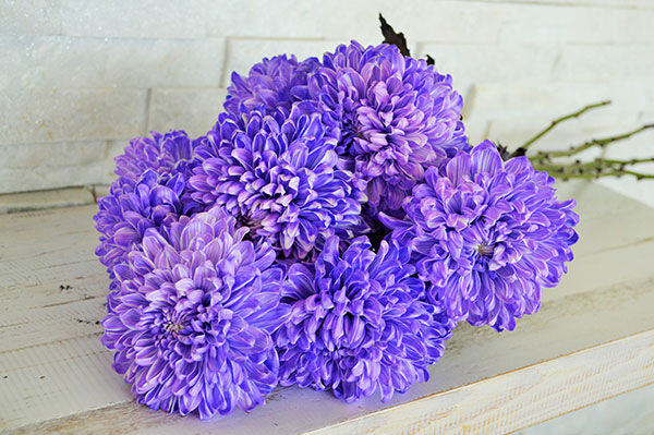 Chrysanth- Emum Commercial