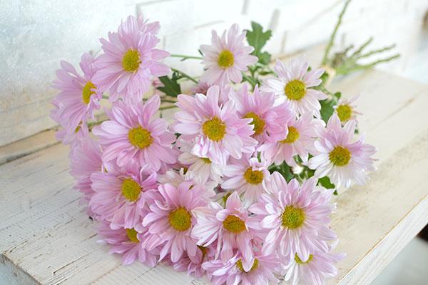 Chrysanth- Emum Daisy